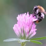 Koniczyna – kwiat obfitości dla owadów