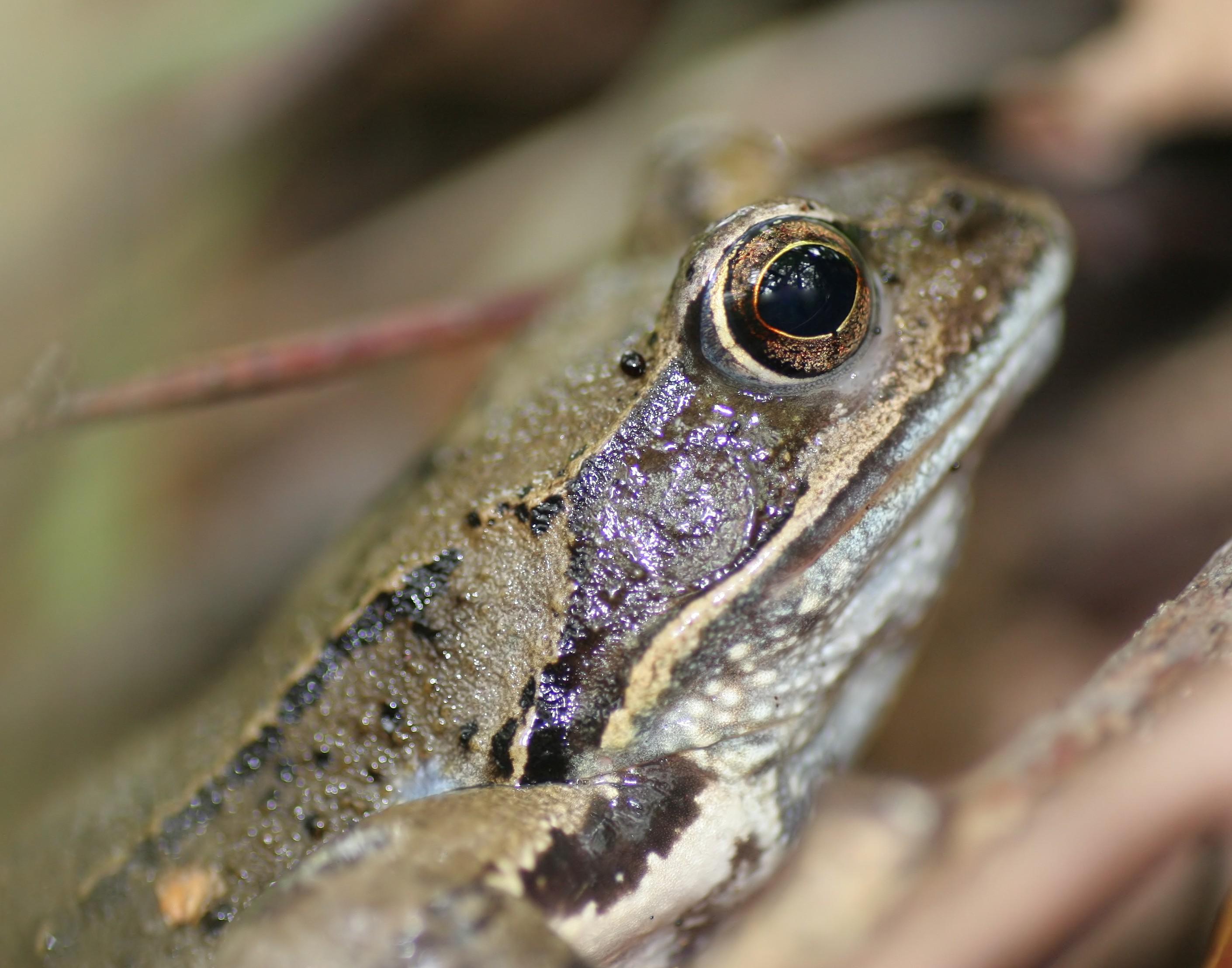 Żaby brunatne – pożyteczne drapieżniki