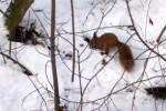 Wiewiórka zimą