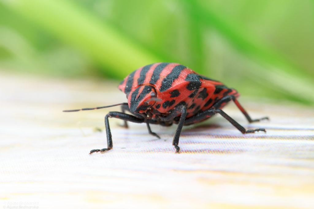 Strojnica baldaszkówka (shield bug, Graphosoma lineatum) zlizuje sok za pomocą kłujki